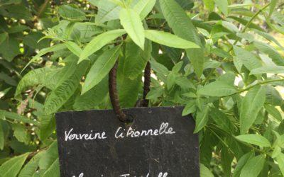 La verveine citronnelle, une aromatique gourmande